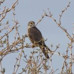 Merlin Findhorn Bay 10 Mar 2017 Richard Somers Cocks P