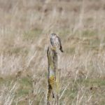 Merlin Findhorn Bay 3 Mar 2017 Richard Somers Cocks