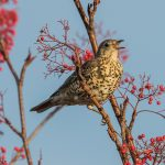 Mistle Thrush, Forres 27 Nov 2016 (Tony Backx)