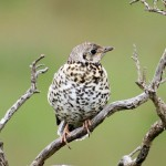 Mistle Thrush Glenlivet 23 June 2014 Gordon Biggs1