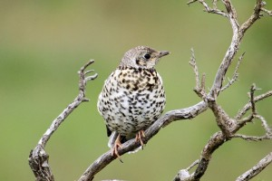 Mistle Thrush, Glenlivet 23 June 2014 (Gordon Biggs)