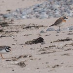 Mongolian Plover Lossiemouth east beach Margaret Sharpe 16 July 2013 1