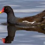 Moorhen Loch Spynie 18 Apr 2018 Nick Mellor