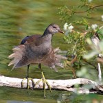 Moorhen, Loch Spynie 5 Aug 2014 (Gordon Biggs)