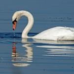 Mute Swan, Loch Spynie 11 Sept 2014 (Derek McGinn)