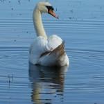 Mute Swan Loch Spynie 6 Jul 2014 Bob Proctor