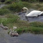 Mute Swan, Nairn 22 May 2016 (Jack Harrison) 1