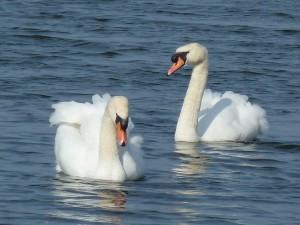 Mute Swans, Loch Spynie 31 Mar 2014 (Bob Proctor)