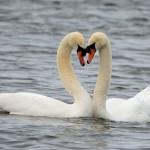 Mute Swans Loch Spynie 5 Mar 2016 Gordon Biggs P