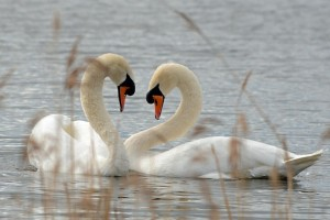 Mute Swans, Loch Spynie 6 Apr 2014 (Gordon Biggs)