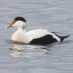 Northern Eider Burghead 17 Jan 2014 Peter Stronach