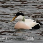 Northern Eider Burghead 7 Dec 2013 Dave Pullan 1