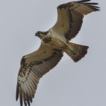Osprey Lossie estuary 14 July 2014 David Main