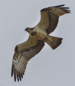 Osprey, Lossie estuary 14 July 2014 (David Main)