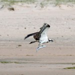 Osprey, Lossie estuary 28 May 2016 (Gordon Biggs)