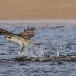 Osprey, Lossie estuary 30 Apr 2015 (David Main)