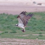 Osprey, Lossie estuary 8 Jul 2015 (Gordon Biggs) 2