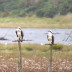 Ospreys Findhorn Bay 13 Sept 2015 Richard Somers Cocks