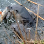 Otter Loch Spynie 22 Dec 2014 Gordon Biggs 2