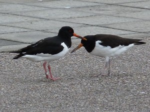 Oystercatcher, Elgin 27 Jun 2014 (Bob Proctor)