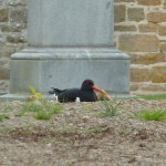 Oystercatcher Elgin cemetery 15 May 2014 Bob Proctor