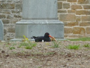 Oystercatcher, Elgin cemetery 15 May 2014 (Bob Proctor)