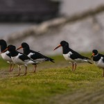 Oystercatchers Burghead 9 Feb 2014 David Main