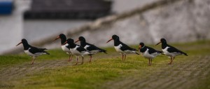 Oystercatchers, Burghead 9 Feb 2014 (David Main)