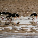 Oystercatchers Lossie estuary 9 Mar 2014 David Main