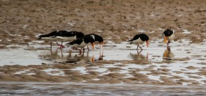 Oystercatchers, Lossie estuary 9 Mar 2014 (David Main)