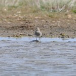Pectoral Sandpiper Netherton pool 2 June 2013 Gordon McMullins 1