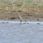 Pectoral Sandpiper Netherton pool 2 June 2013 Gordon McMullins 2