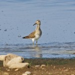 Pectoral Sandpiper Wester Delnies 11 Sept 2014 Tony Backx 1