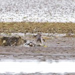 Peregrine killing prey Findhorn Bay 5 Aug 2013 Richard Somers Cocks