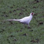 Pheasant Duffus 28 November 2017 Jim Simpson