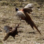 Pheasants fighting Dallas 13 Apr 2013 Gordon Biggs 2