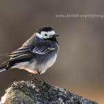 Pied Wagtail, Dava 21 Apr 2015 (David Devonport)
