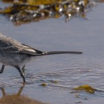 Pied Wagtail, Lossie estuary 22 Jul 2015 (David Main)