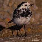 Pied Wagtail, Lossiemouth 24 Feb 2014 (David Main)