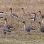 Pink footed Geese Findhorn Bay 10 May 2015 Richard Somers Cocks