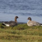 Pink footed Geese Findhorn Bay 15 Sep 2016 Richard Somers Cocks