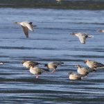 Pink footed Geese Findhorn Bay 27 Sep 2016 Richard Somers Cocks