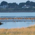 Pink footed Geese Findhorn Bay 4 Oct 2015 Richard Somers Cocks