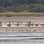 Pink footed Geese Findhorn Bay 9 September 2014 Richard Somers Cocks