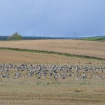 Pink footed Geese Fogwatt 13 Oct 2014 Brian Sheldon