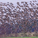Pink footed Geese North Alves 25 Nov 2014 Tony Backx
