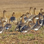 Pink footed Geese North Alves 6 Jan 2015 Tony Backx