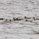 Pintail Findhorn Bay 21 Sept 2013 Richard Somers Cocks