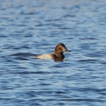 Pochard Loch Spynie 23 Nov 2014 Richard Somers Cocks