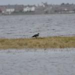Pomarine Skua Findhorn Bay 26 Dec 2015 Gordon McMullins 1